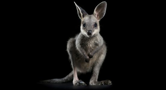 Wallaby-cute-baby-australia-wildlife-help-save-bushfire