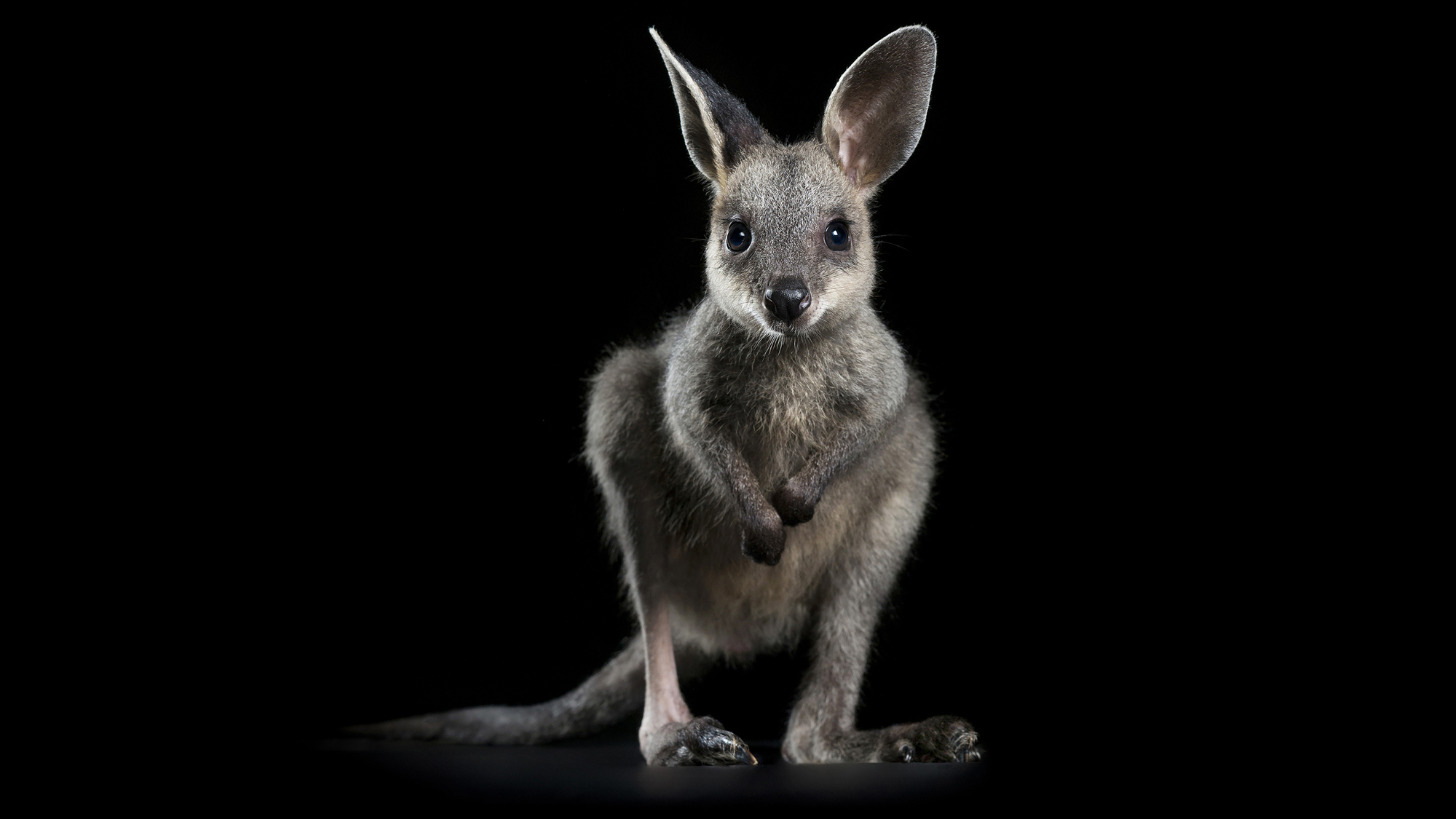 Wallaby-cute-baby-australia-wildlife-help-save-bushfire