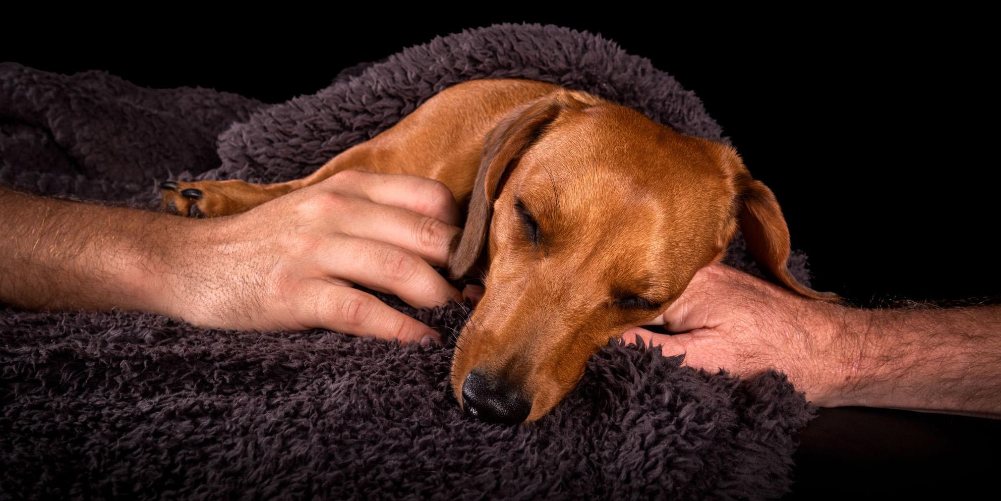 adorable-sausage-dog-sweetheart-sleeping-gorgeous-peaceful-man-hugs