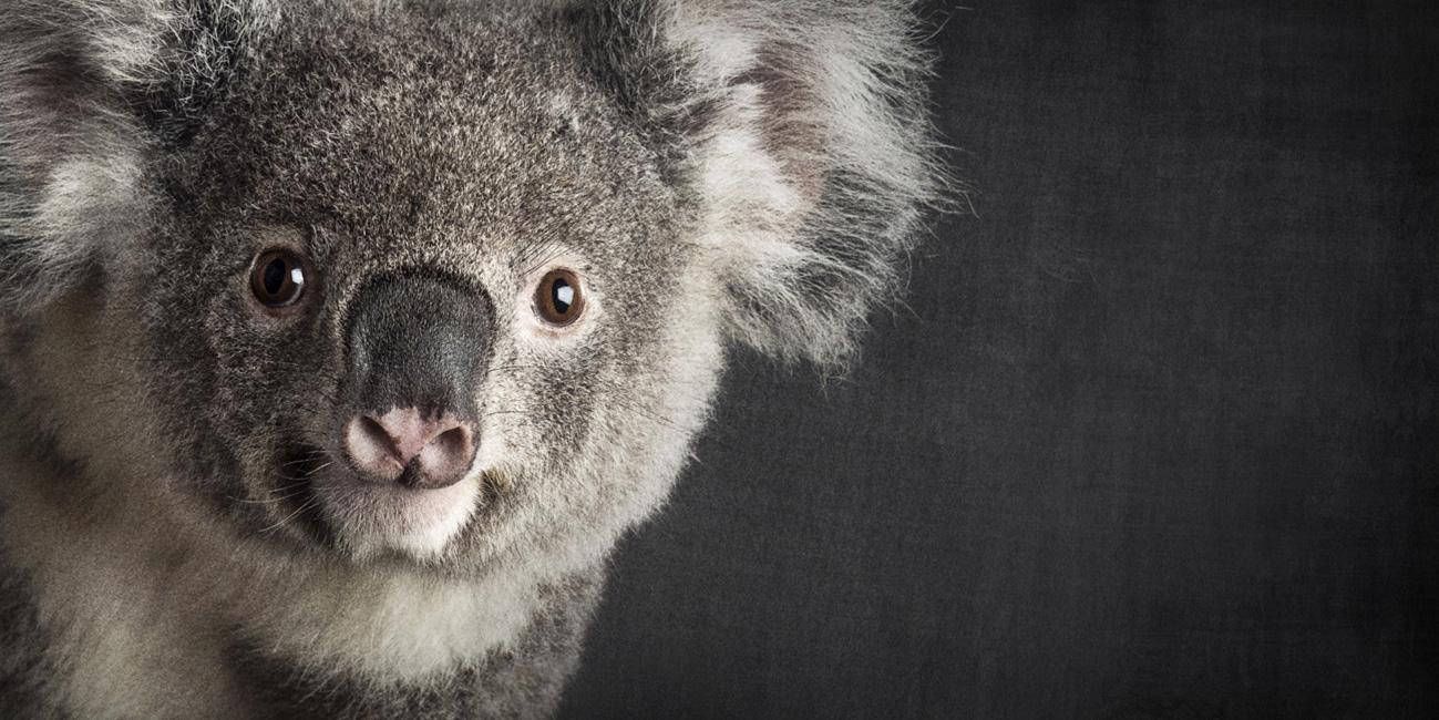 Port-Macquarie-Koala-Hospital-wildlife-melbourne-pet-photography-photographer-studio
