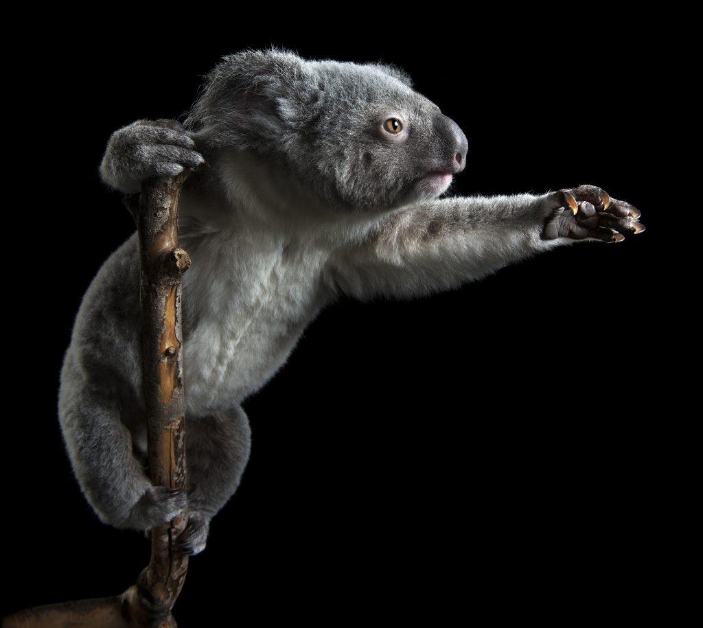 koala-hospital-bushfires-zoo-studio-melbourne-pet-photography-brisbane-pet-photography