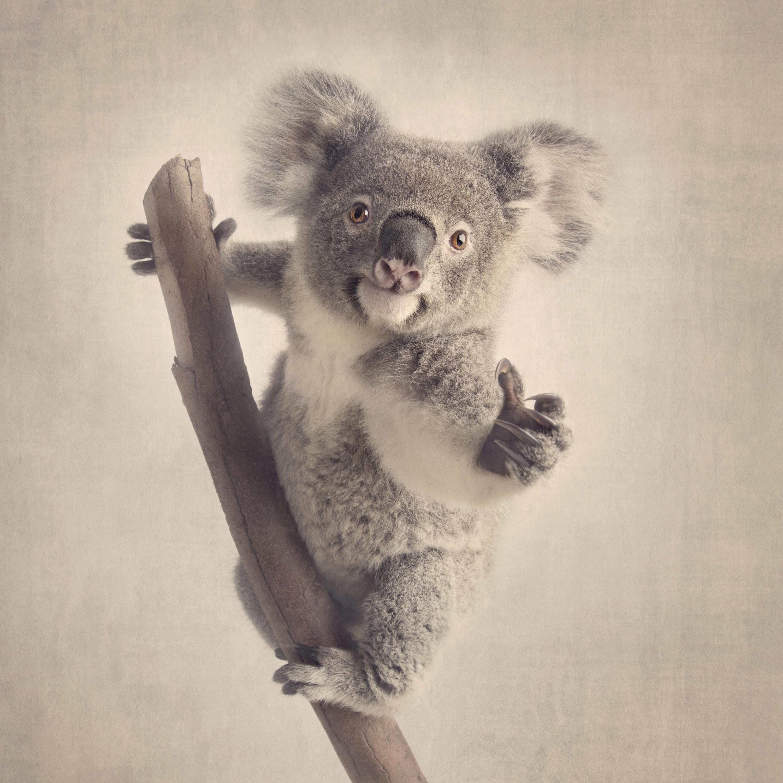 Koala-rescue-melbourne-zoo-studio-pet-photography