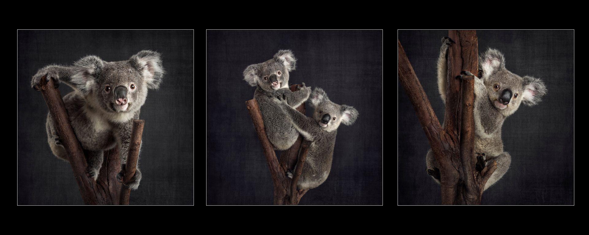 Koala-hospital-fundraiser-zoo-studio-melbourne-pet-photography